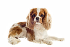 Cavalier king charles Stock Photography
