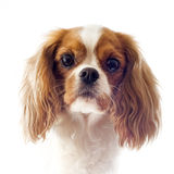 Cavalier king charles Royalty Free Stock Photo