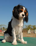 Cavalier king charles Royalty Free Stock Images