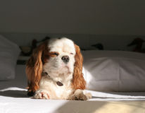 Cavalier King Charles. My dog royalty free stock images