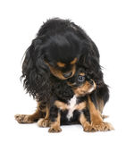 Cavalier King Charles () royalty free stock images
