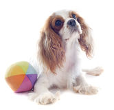 Cavalier king charles and ball Royalty Free Stock Image