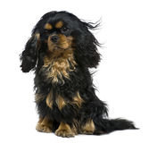 Cavalier king Charles dog, 1 year old. Sitting in front of white background Royalty Free Stock Photography