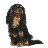 Cavalier king Charles dog, 1 year old, sitting. In front of white background Stock Photos