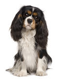 Cavalier King Charles dog, 14 months old. Sitting in front of white background royalty free stock images