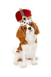 Cavalier King Charles Dog With Crown. A Cavalier King Charles breed dog wearing a tall king's crown stock images