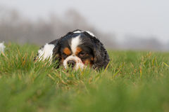 Cavalier King Charles Dog Portrait Stock Photo