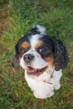 Cavalier King Charles Dog Portrait Royalty Free Stock Photos