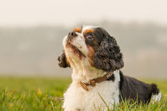 Cavalier King Charles Dog Portrait Stock Photography