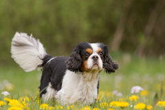 Cavalier King Charles Dog Portrait Stock Images