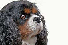 Cavalier king charles Royalty Free Stock Photography
