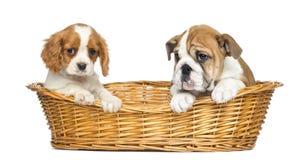 Cavalier King Charles and English Bulldog puppies Royalty Free Stock Photography