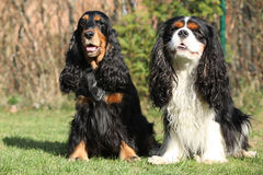 Cavalier King Charles with English Cocker Spaniel Stock Image