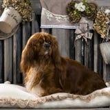 Cavalier King Charles Stock Image