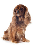 Cavalier king charles Stock Photo