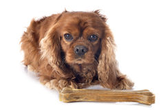Cavalier king charles Stock Image