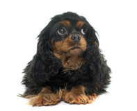 Cavalier king charles Royalty Free Stock Photos