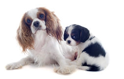 Cavalier king charles Stock Images