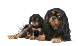 Cavalier King Charles mother and pup Stock Photo