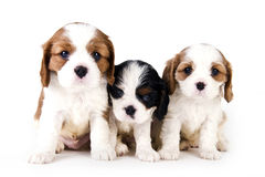 Cavalier King Charles puppies Stock Photos