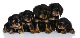 Cavalier King Charles puppies, 7 weeks old. In front of a white background Stock Photos