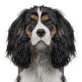 Cavalier King Charles puppy (10 months) (Digital e Stock Photography