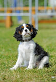 Cavalier king charles puppy Royalty Free Stock Photography