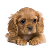 Cavalier King Charles puppy (7 weeks) Stock Photography