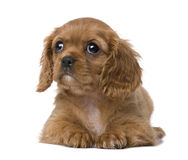Cavalier King Charles puppy (7 weeks) Stock Images