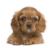 Cavalier King Charles puppy (7 weeks) Stock Photos