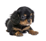 Cavalier King Charles puppy (7 weeks) Royalty Free Stock Images