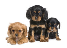 Cavalier King Charles puppy (7 weeks) Royalty Free Stock Photos