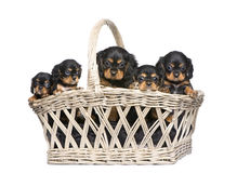 Cavalier King Charles puppy (7 weeks) Royalty Free Stock Image