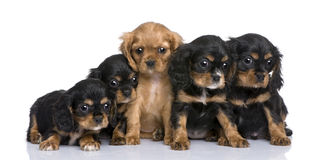 Cavalier King Charles puppy (7 weeks) Stock Image
