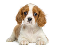 Cavalier King Charles Puppy lying and facing Royalty Free Stock Photography