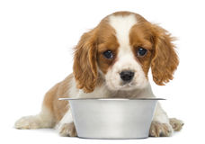 Cavalier King Charles Puppy lying in front of an empty metallic dog bowl Royalty Free Stock Image