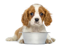 Cavalier King Charles Puppy lying in front of an empty metallic dog bowl. 2 months old, isolated on white Stock Photos