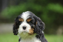 Cavalier king charles puppy Stock Photos