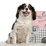 Cavalier king Charles sitting with Christmas Royalty Free Stock Images