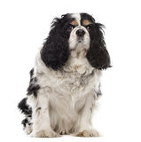 Cavalier King Charles sitting Royalty Free Stock Photography