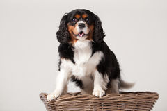 Cavalier King Charles-spaniël in basket. Happy dog photographed in the studio on a white background royalty free stock photo