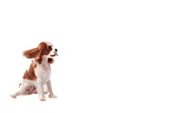 Cavalier King Charles Spanial. A Cavalier King Charles Spaniel puppy sticking out it's tongue Stock Images