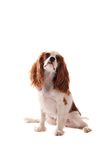 Cavalier King Charles Spanial in Santa Hat. A Cavalier King Charles Spaniel sitting on white Stock Photo