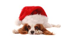 Cavalier King Charles Spanial in Santa Hat. A Cavalier King Charles Spaniel puppy in a Santa Hat, Christmas theme Stock Photos