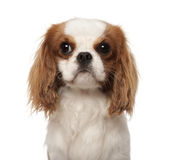 Cavalier King Charles Spaniel, 10 months old Royalty Free Stock Photo