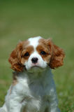 Cavalier King Charles Spaniel. A beautiful little Cavalier King Charles Spaniel dog puppy head portrait with cute expression in the face watching other dogs in Royalty Free Stock Photos