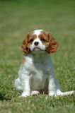 Cavalier King Charles Spaniel. A beautiful little Cavalier King Charles Spaniel puppy from front with cute expression in the face sitting in the grass of the Royalty Free Stock Photos