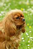 Cavalier King Charles Spaniel Stock Photo