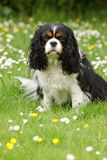 Cavalier King Charles Spaniel Stock Photography