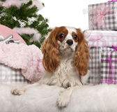 Cavalier King Charles Spaniel, 18 months old Stock Images
